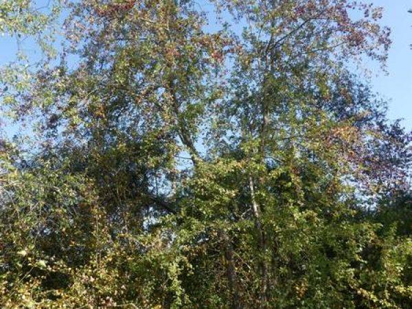 aubepine-ecorce-tronc_04