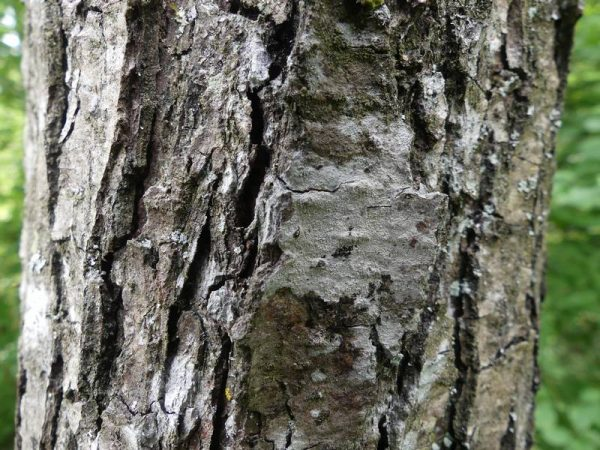 aulne-glutineux-ecorce-tronc_02