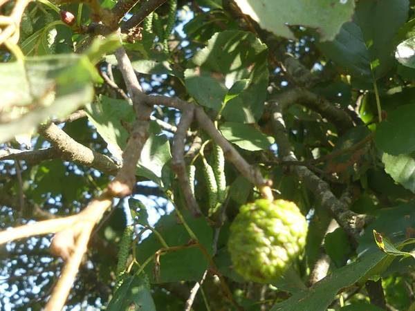 aulne-glutineux-fruit_05