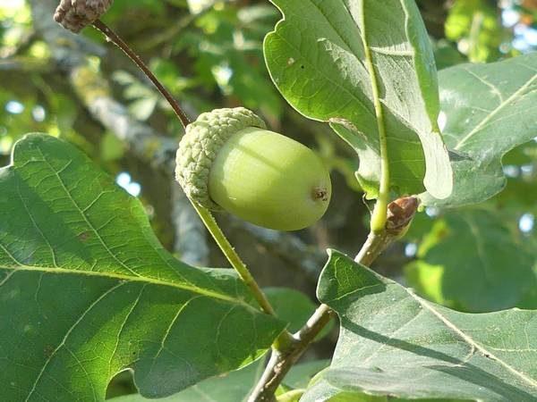 chene-pedoncule-fruit_02