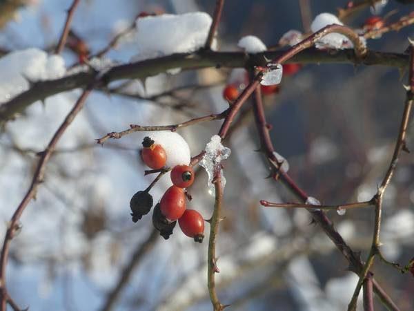 eglantier-fruit_03