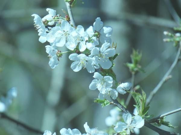 merisier-fleur_01