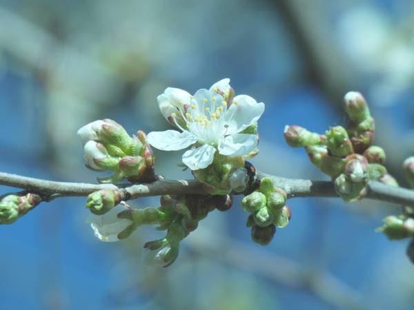 merisier-fleur_02