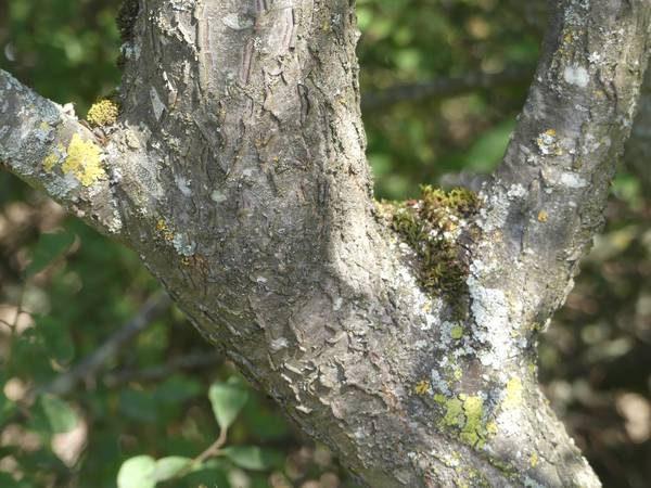 prunellier-ecorce-tronc_01