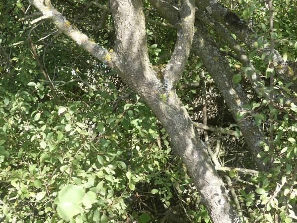 prunellier-ecorce-tronc_03