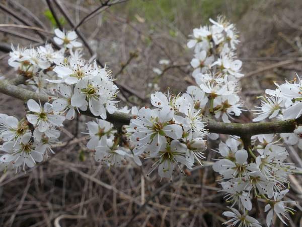 prunellier-fleur_02