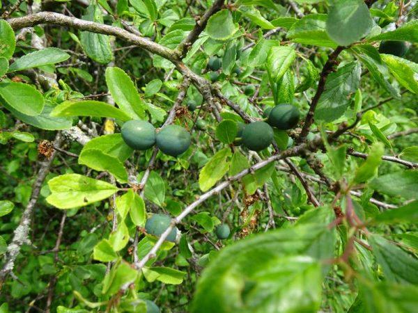 prunellier-fruit_01