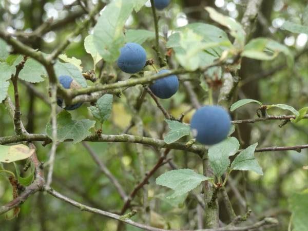 prunellier-fruit_02