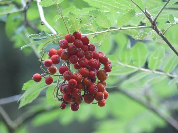 sorbier-des-oiseleurs-fruit_01