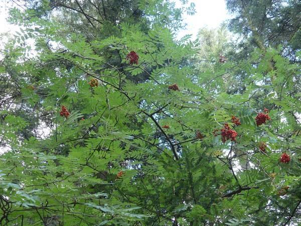 sorbier-des-oiseleurs-fruit_02