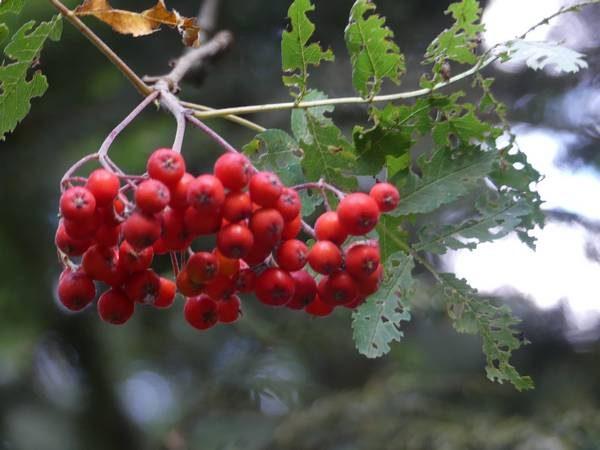 sorbier-des-oiseleurs-fruit_03