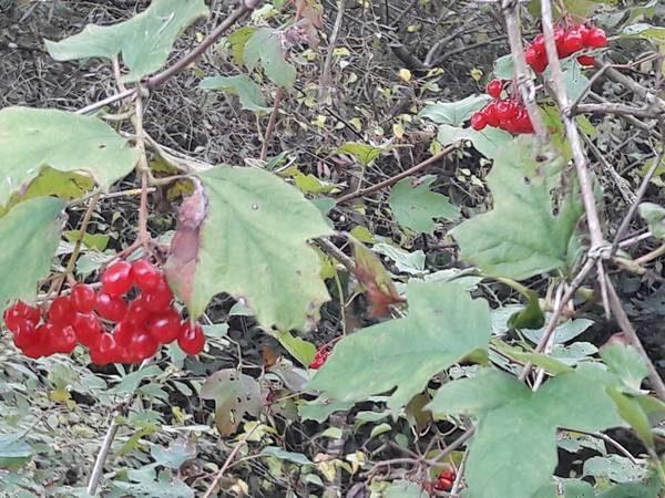 viorne-fruit_01