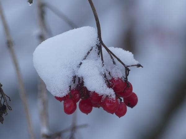 viorne-fruit_04
