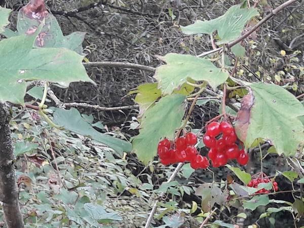 viorne-fruits_02